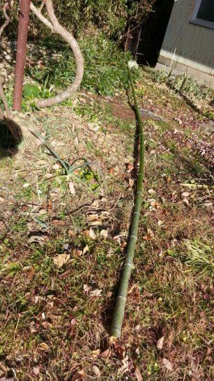 枝を取った後の竹