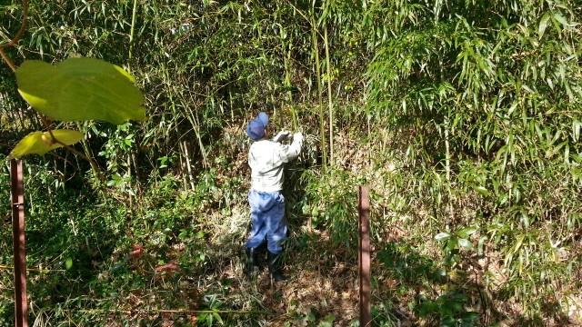 竹林で竹をカットする
